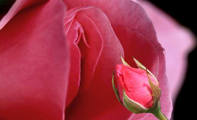Rose in Schamlippenform